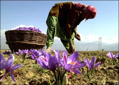 Saffron plant used for dying